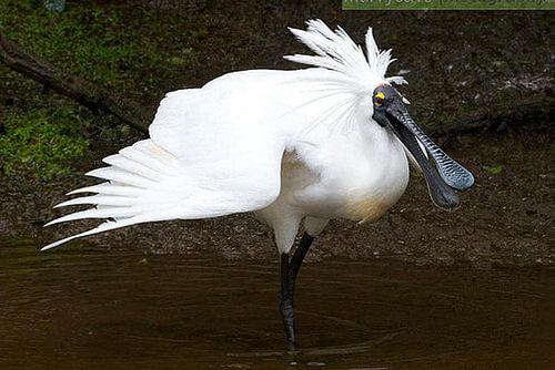 White Herons - Waitangi Roto Nature Reserve - New Zealand